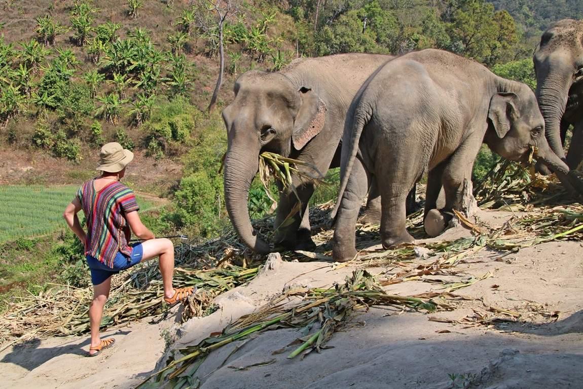 Rezerwat słoni w Tajlandii - karmienie słoni bambusem