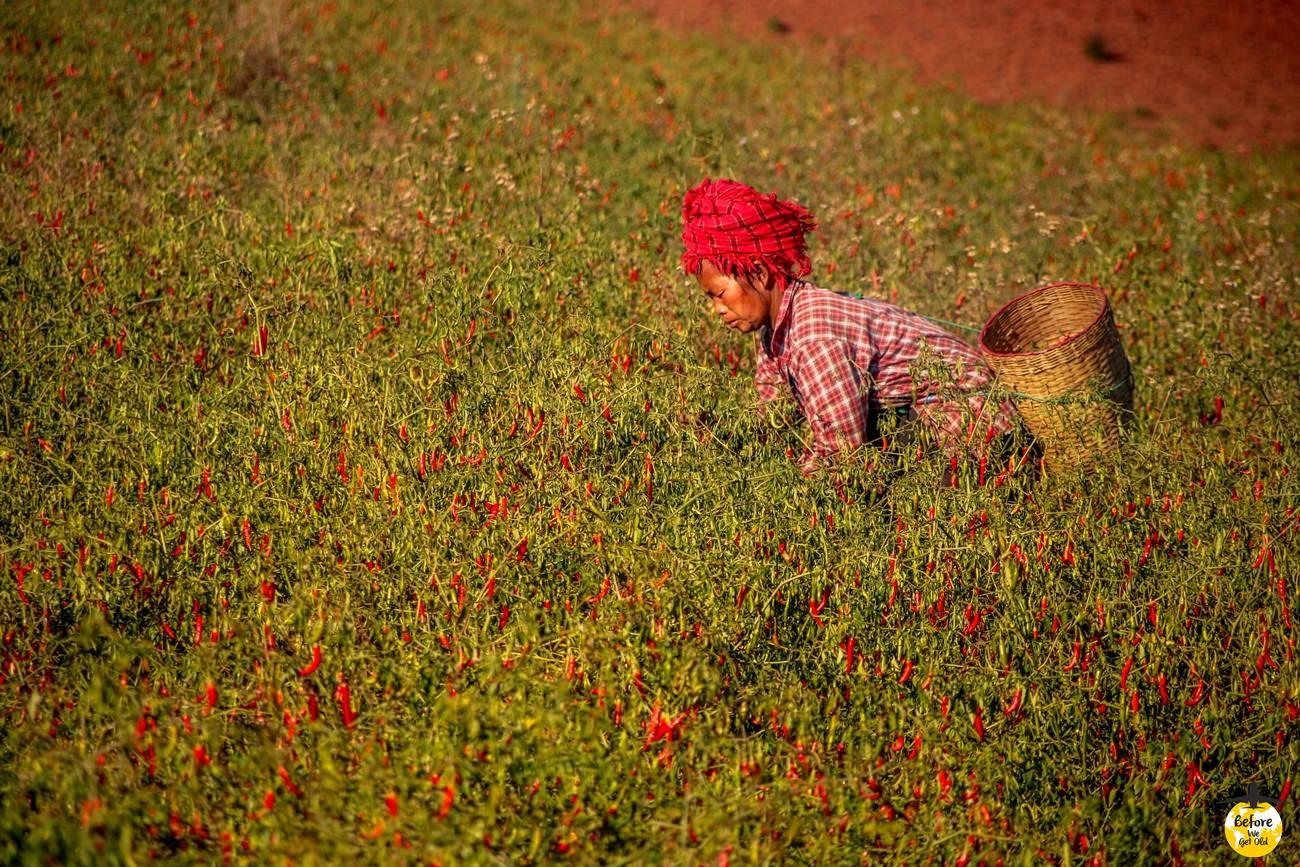 uprawy w birmie