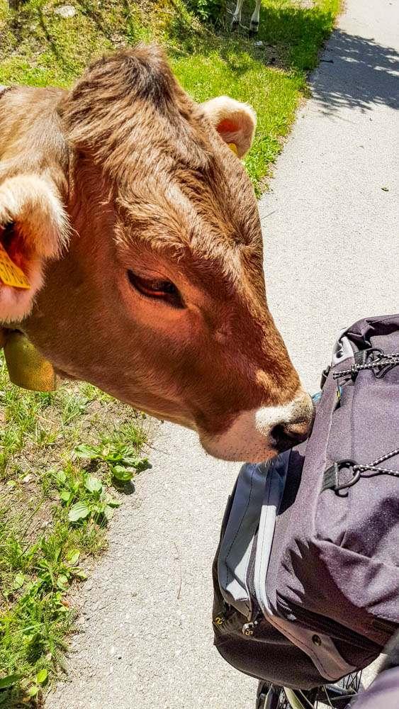 Austria krowy alpejskie