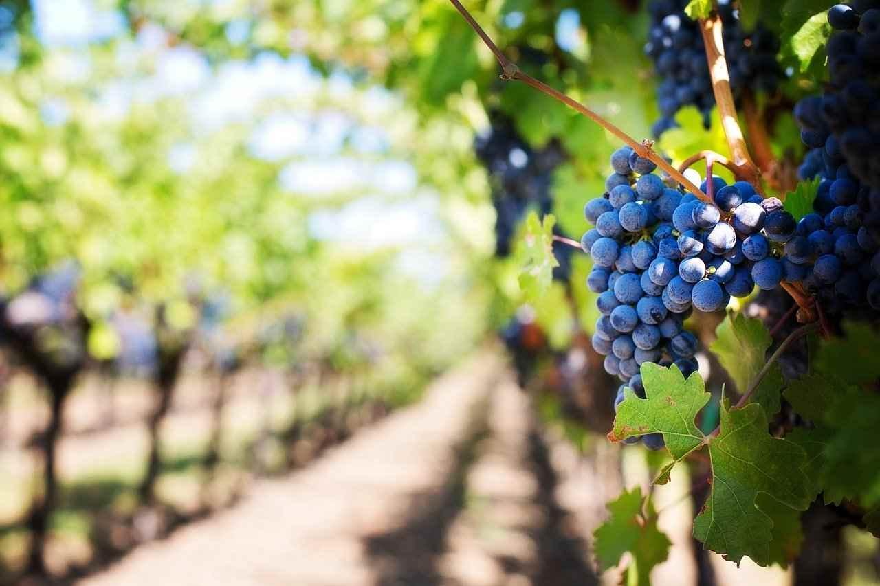 Austria latem winnice